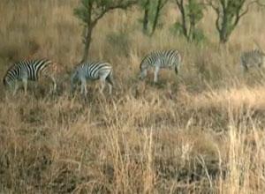 Zebras são avistadas durante o passeio