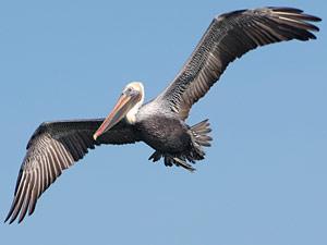 O Pelicano Distribuidora G1 - Conheça cinc...