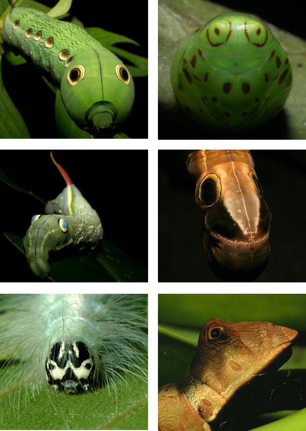Pesquisadores americanos descobriram que centenas de espécies de lagartas e casulos de borboletas e mariposas apresentam