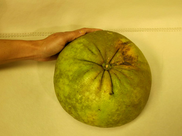 Agrônomo de Alagoas disse que pomelo é considerado o 'pai' da laranja