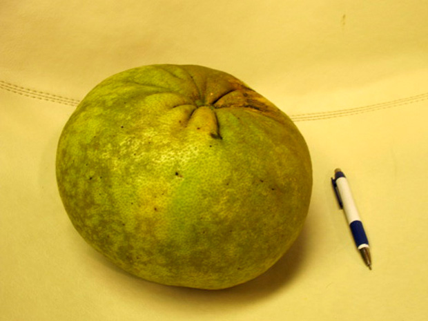 Pomelo tem casca grossa e a polpa tem o mesmo tamanho de uma laranja comum