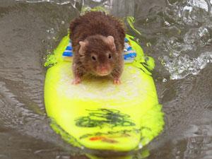 Camundongo aprendeu a surfar na Austrália