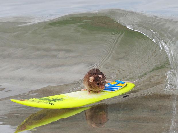 Camundongo surfa na praia da Costa Dourada, em Queensland
