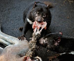 Dois filhotes de diabo-da-tasmânia (Sarcophilus harrisii) comem carne colocada dentro de um boneco de canguru, para simular caça, no Centro de Procriação de Diabos-da-Tasmânia do Zoológico Taronga, em Sydney (Foto: Greg Wood / France Presse)