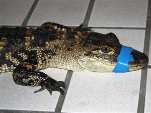 Crocodilo percorreu comunidade no oeste da Alemanha