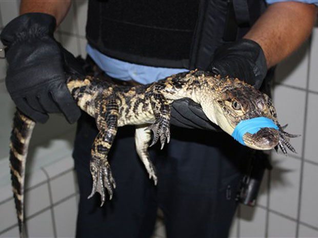 Crocodilo foi recolhido pela polícia