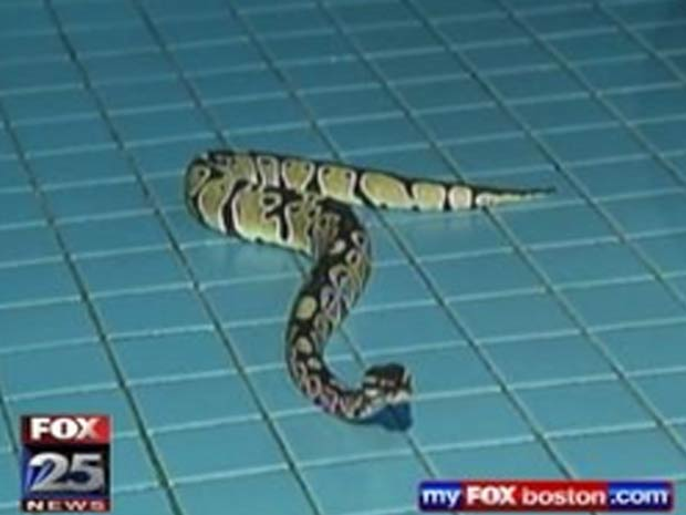 Cobra de quase 1 metro estava dentro de pasta.