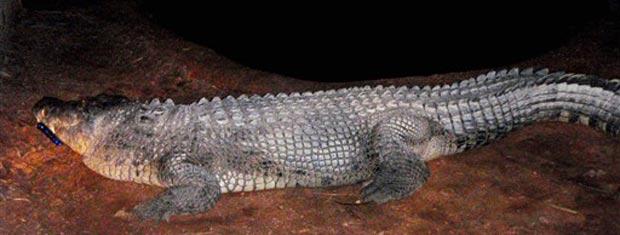 O crocodilo Fatso, suspeito do ataque, em foto divulgada pela polícia da Austrália.