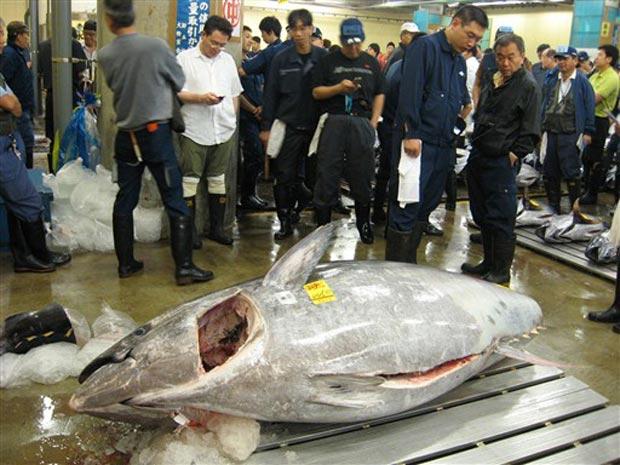 O atum vermelho de 445 km é mostrado pouco antes do leilão desta sexta-feira (16) em Tóquio.