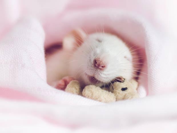 Rato chamado Worm é fotografado ao lado de bicho de pelúcia.