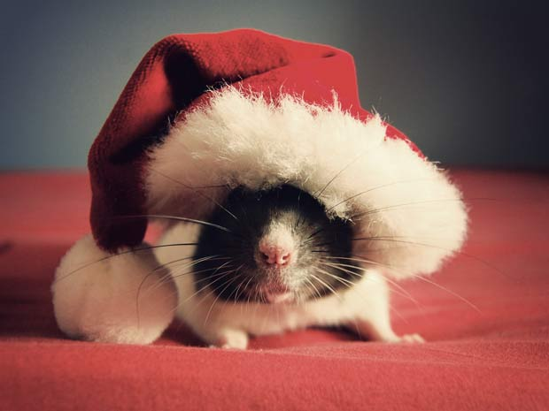 Rato chamado Bug posa com chapéu de Papai Noel.