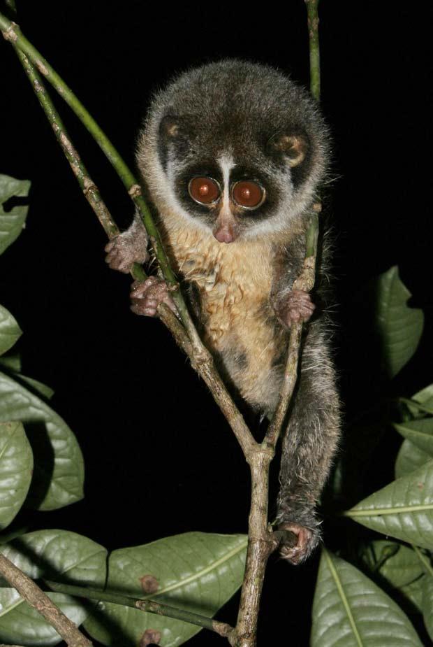 Detalhe do animal apoiado em planta localizada dentro de floresta em região montanhosa no Sri Lanka, país insular próximo à costa da Índia
