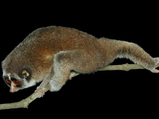 Exemplar do gênero 'Loris', tido como extinto há 60 anos, foi encontrado por pesquisadores no Sri Lanka, com registro divulgado nesta segunda-feira