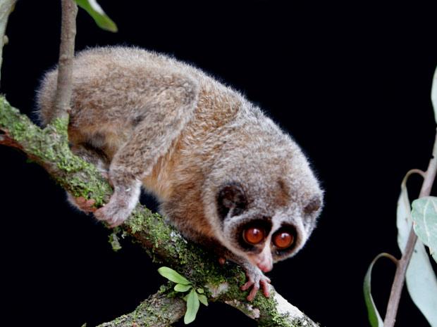 O primata foi encontrado após 200 horas de procura por parte de uma equipe de cientistas do Sri Lanka e da Zoological Society de Londres