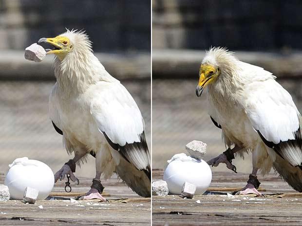 Uma ave de rapina usou uma pedra para quebrar a casca de um avo durante uma apresentação na terça-feira em um zoológico em Madri, na Espanha.