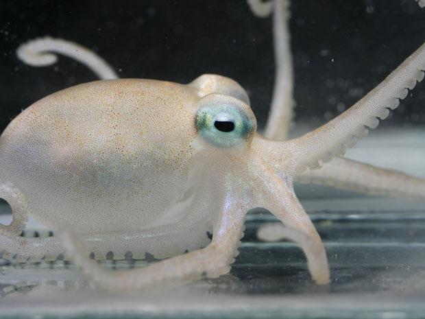 O polvo Adelieledone polymorpha, uma das novas espécies, em foto divulgada pelos pesquisadores.