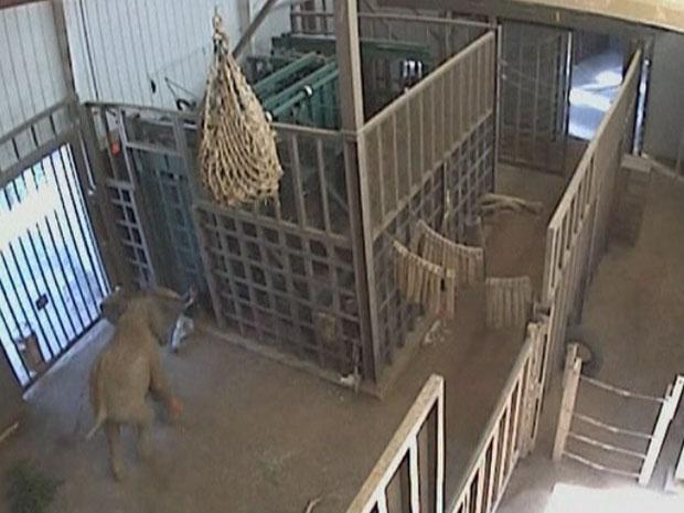 Imagem de câmera de segurança flagra o ataque do elefante.