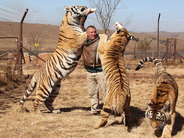 John Wagenaar dá mamadeira para dois tigres siberianos.