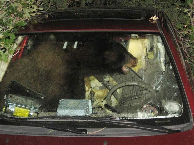 Urso ficou trancado dentro de um carro no Colorado.
