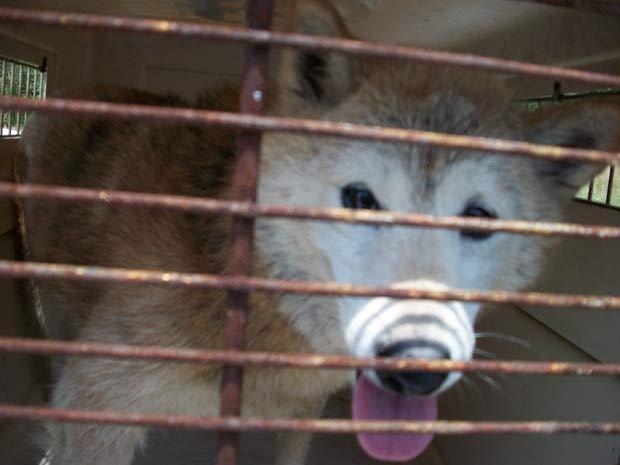 Cadela da raça Shiba Inu foi confundida com um coiote.