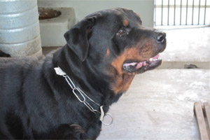 Cães de Bola apreendidos (Foto: Glauco Araújo/G1)