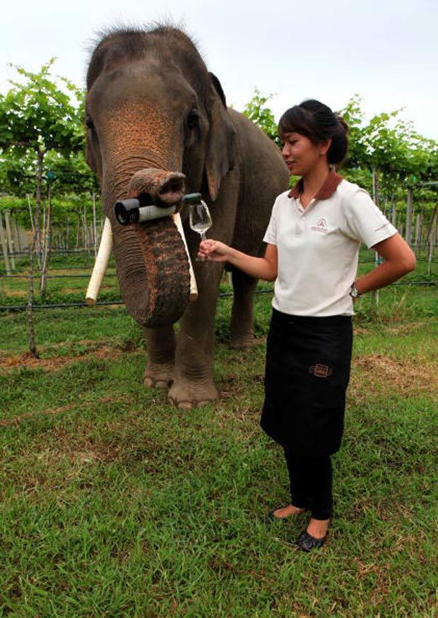 O elefante chamado 'Game' tem mostrado habilidade de garçom em um vinhedo na zona rural de Hua Hin,  na Tailândia. Usando a tromba, o animal segura a garrafa de vinho e serve os visitantes.