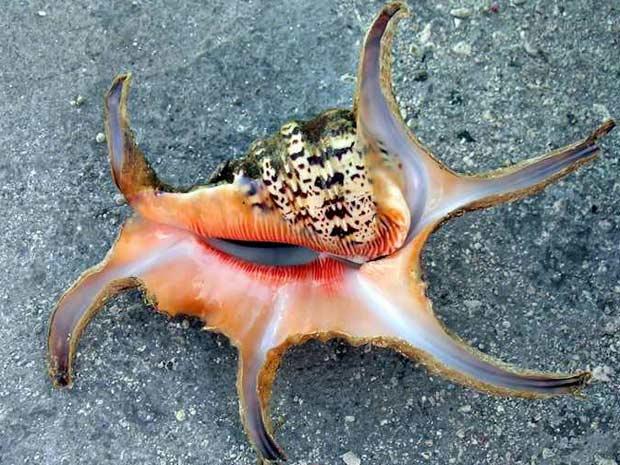 Exemplar de gastrópode do gênero 'lambis chiragra', catalogado na costa da China.