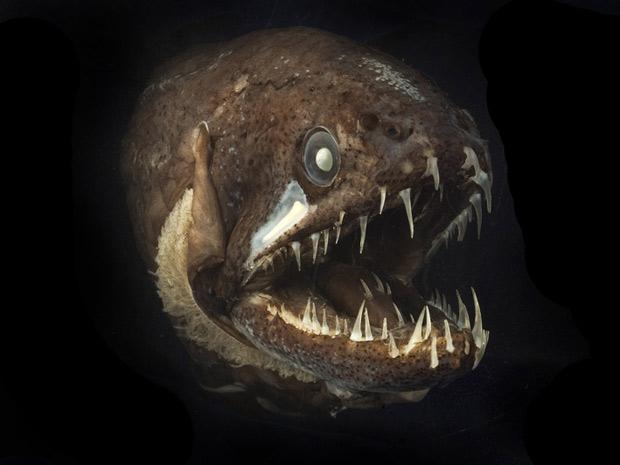 Exemplar de peixe-dragão, do tamanho de uma banana, um dos habitantes das regiões abissais nos oceanos.