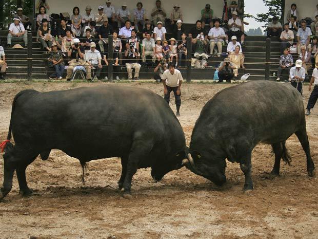 Um 'Seko', ou 'separador de touros' observa a luta entre os animais, na cidade japonesa de Yamakoshi, norte do país.