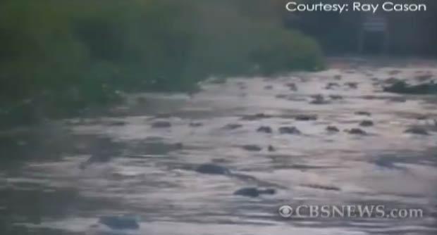 Pescador filmou centenas de jacarés durante um frenesi alimentar.