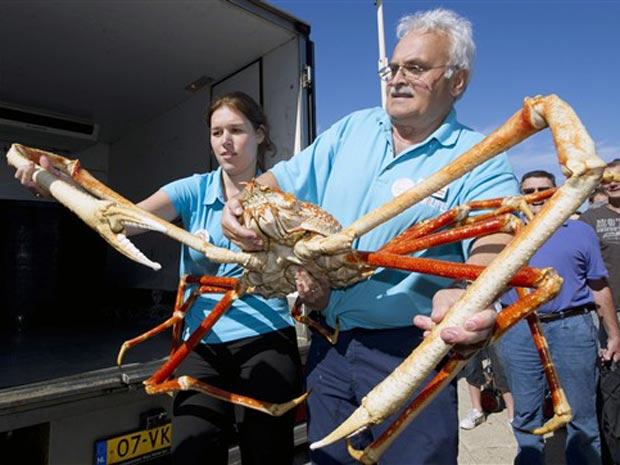 Exemplar de caranguejo-gigante japonês, encontrado no Oceano Pacífico no ano de 2009. A idade do animal é estimada em 40 anos. Conhecido como 'crabzilla', o animal está em turnê pelo mundo e passa pela cidade de Scheveningen, na Holanda, no momento. (Foto: AFP PHOTO / ANP / MARCEL ANTONISSE )