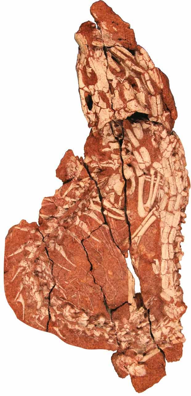Esqueleto do 'Pakasuchus kapilimai', visto de perfil. A cauda do animal, à esquerda da foto, se prolonga até o crânio do animal, no topo da imagem.