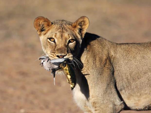 Leão apturou uma rola-do-cabo, mas cágado veio preso a uma das pernas da ave.
