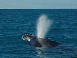 Baleia Jubarte é observada em Abrolhos, em julho deste ano (Foto: Banco de Imagens Instituto Baleia Jubarte)