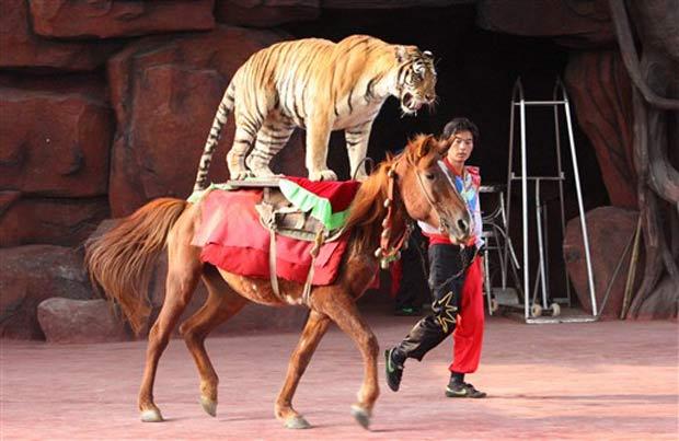 Tigre anda a cavalo no parque Holiday em Foshan.