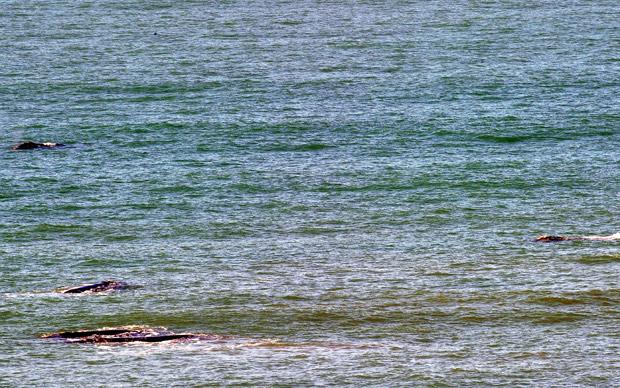 Baleias são avistadas em praias de Florianopólis