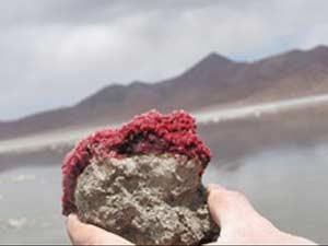 Um tapete bacteriano, associação de algas e bactérias: 'fossil vivo'