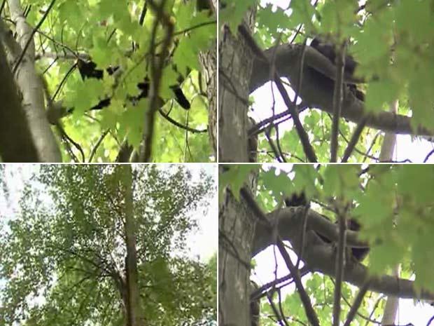 Gata chamada 'Hillary Clinton' ficou presa no topo de uma árvore.