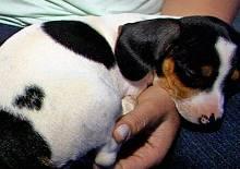 Veja fotos da cadela com mancha de coracao em Goias