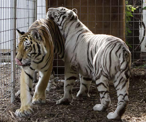 Tigres 'Noah' e 'Layla' também são mantidos como bichos de estimação.
