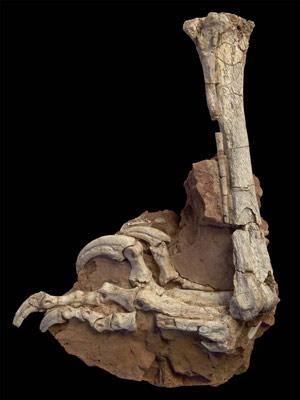 Ossos da espécie 'Balaur bondoc', encontrada em terras romenas.