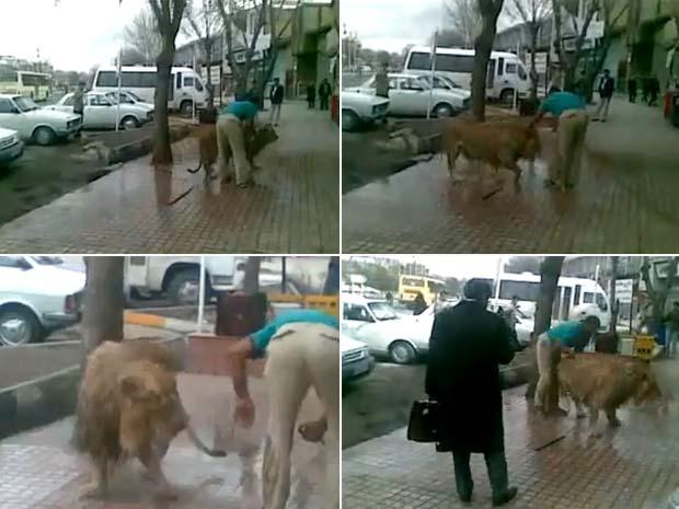 Vídeo mostra homem dando banho em um leão de estimação.