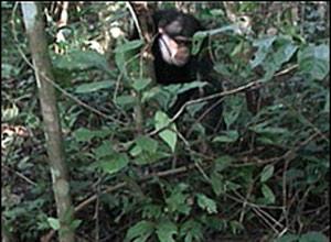 Chimpanzés estão aprendendo a driblar as armadilhas de caçadores humanos nas florestas da Guiné, segundo pesquisadores