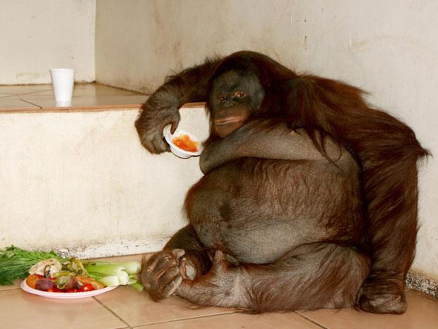 A fêmea de orangotango Oshine.