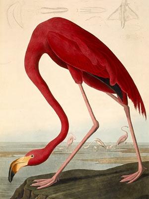 Um flamingo, retratado por Audubon, no livro 'Birds of America'