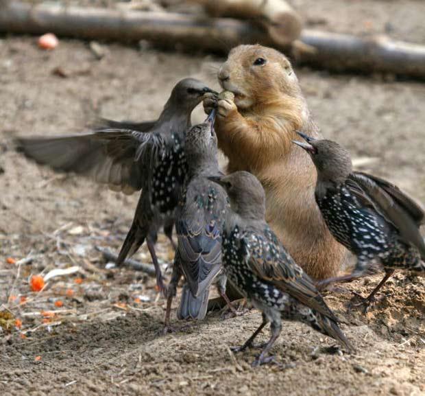 Pássaros tentam roubar noz de cão-da-pradaria.