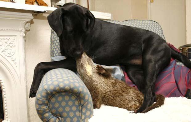 Cadela 'Mollie' e lontra 'Garaint' fizeram amizade inusitada.