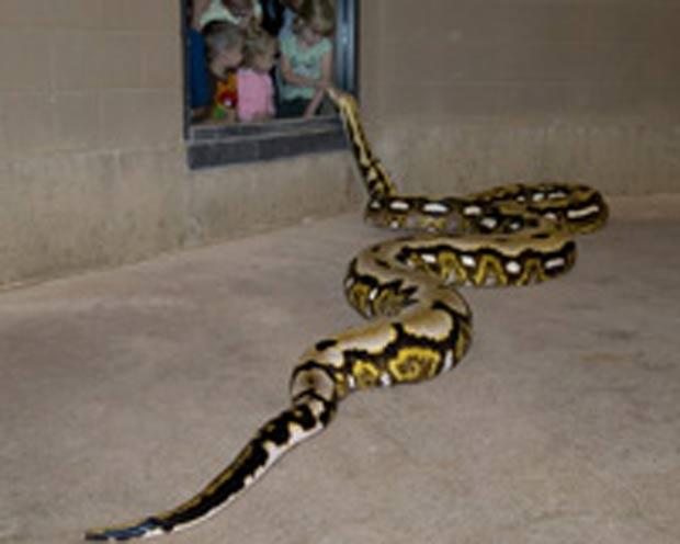 Píton tem mais de 7 metros de comprimento.