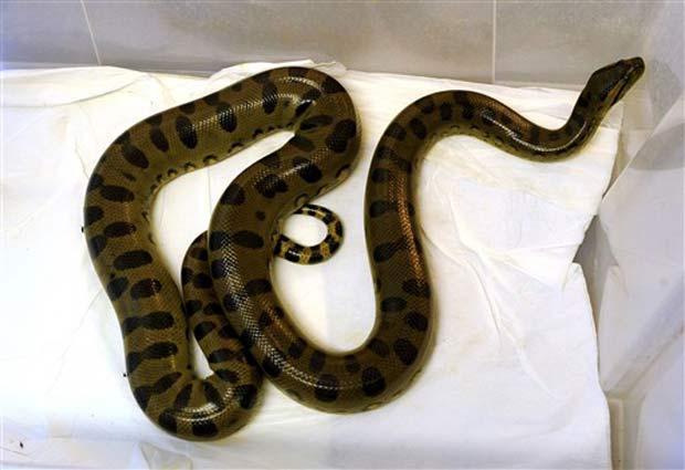 Cobra encontrada por idosa em seu banheiro.