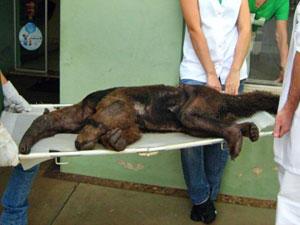 Tamanduá recebe tratamento em Assis